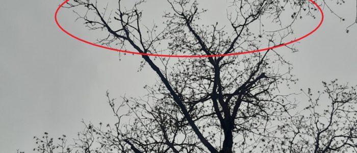 Acer pseudoplatanus- nachlassende Vitalität