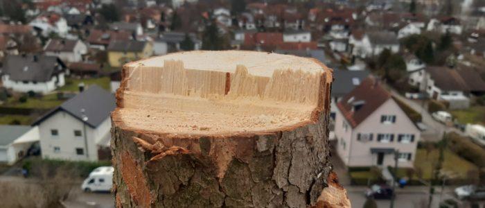 Bruchleiste bei Baumfällung