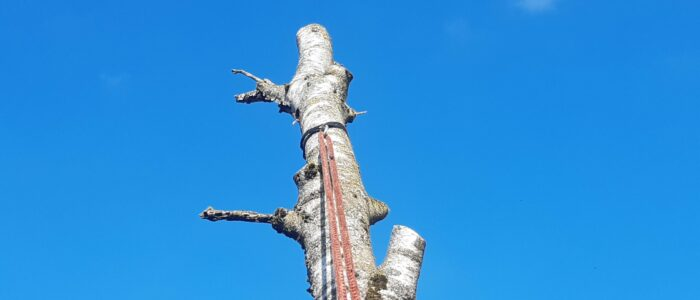Seilklettertechnik (SKT) bei Baumfällung